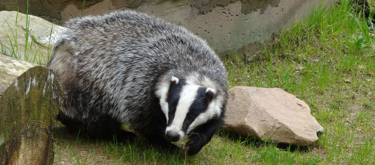 see badgers on country holidays in the UK